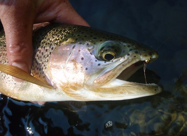 a nice rainbow trout, caught with a NTO, nymph of the C.B.F. flies