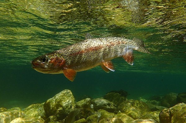 rainbow trout : onchorynchus mykiss