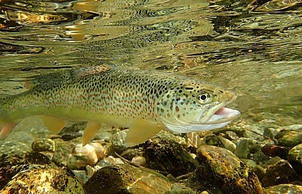 a brown trout : salmo truta fario