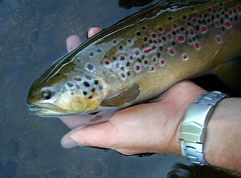a big brown trout caught by claude Behr on the catch and release course in Muhlbach sur Bruche