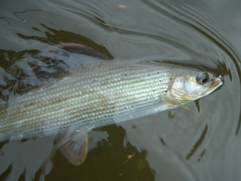 grayling from the Bruche