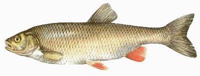 the chub: : leuciscus cephalus